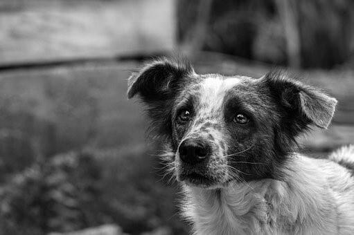 כלב, בעיקר הראש, המביט בעיניים נאמנות